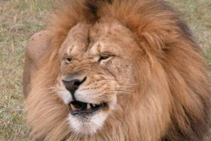 Free admission for dad to Lion Country Safari on Father's Day