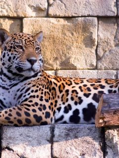Jaguar resting on a ledge at the Palm Beach Zoo / Photo by Mike-Klenetsky